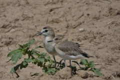 Adult and young Mountain Plover