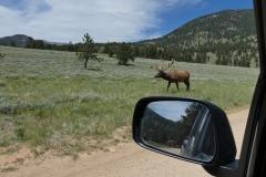 Drive-by Elk