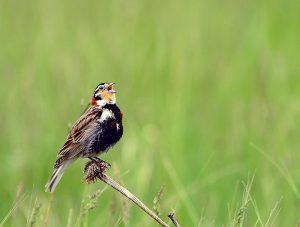By USFWS Mountain-Prairie - Chestnut-collared Longspur