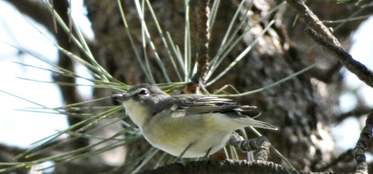 Cassin's Vireo – An Exercise in ID
