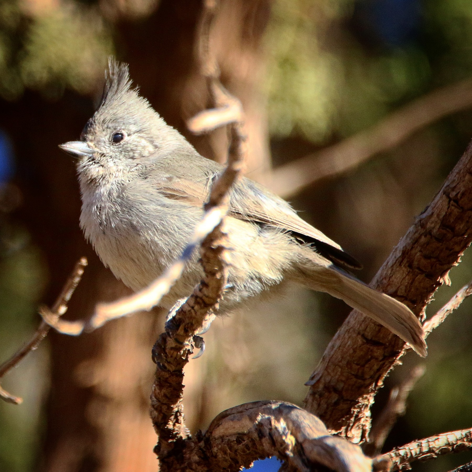 Juniper Titmouse by Jeff Kietzmann
