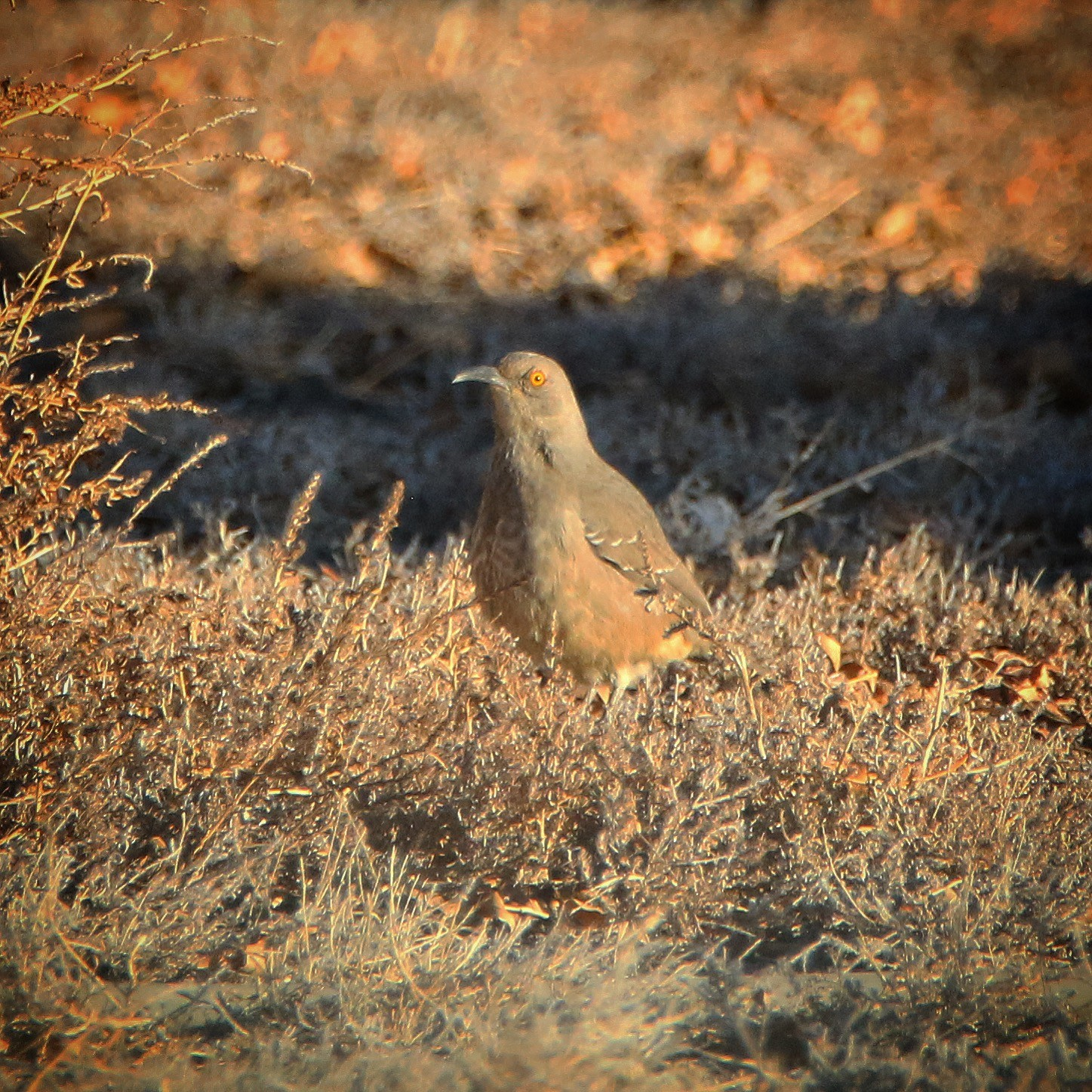 Curve-billed Thrasher by Jeff Kietzmann