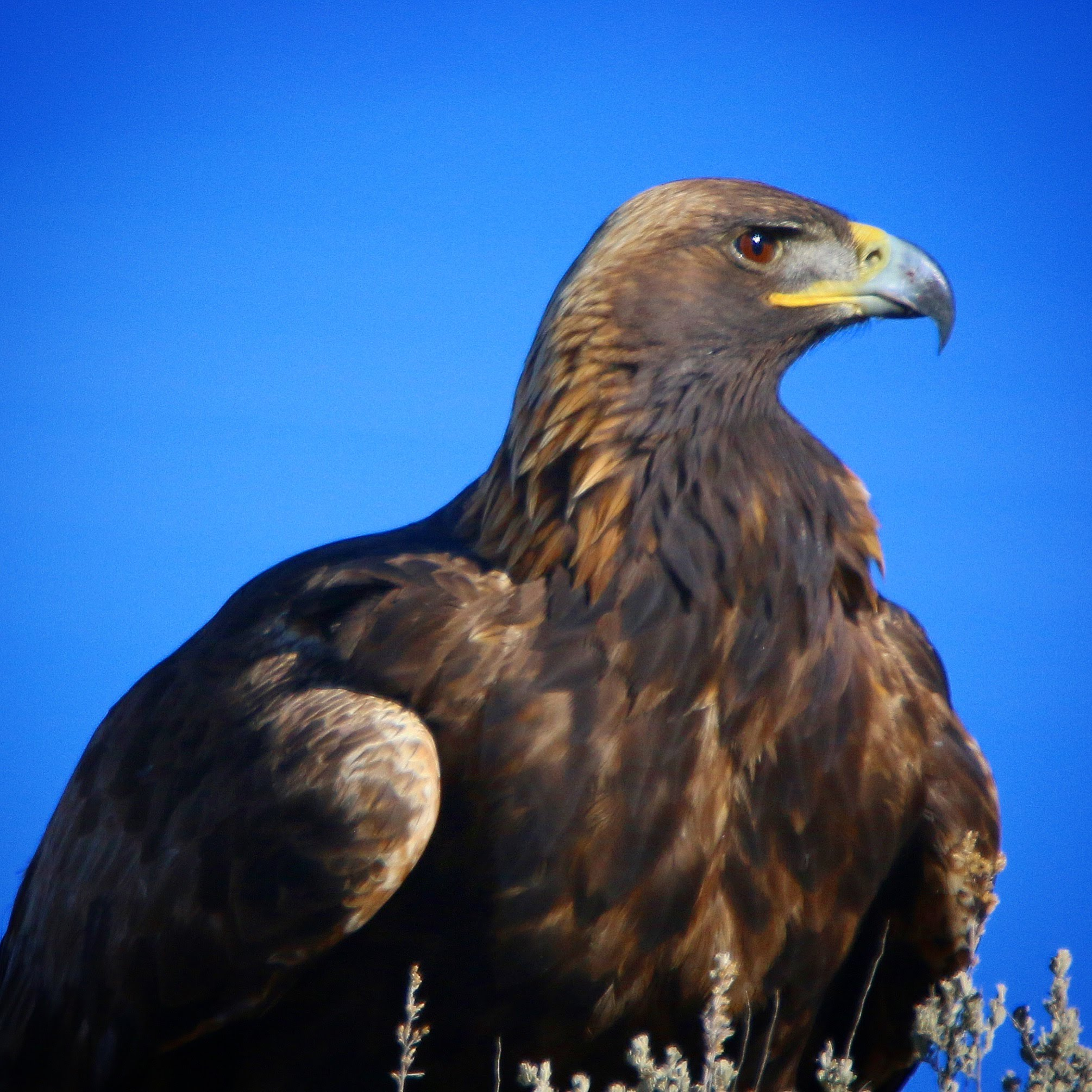 Golden Eagle by Jeff Kietzmann